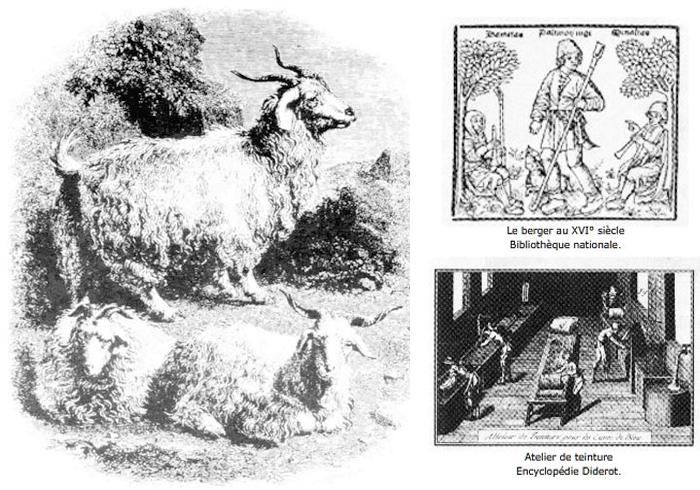 Gravure de chèvres angora